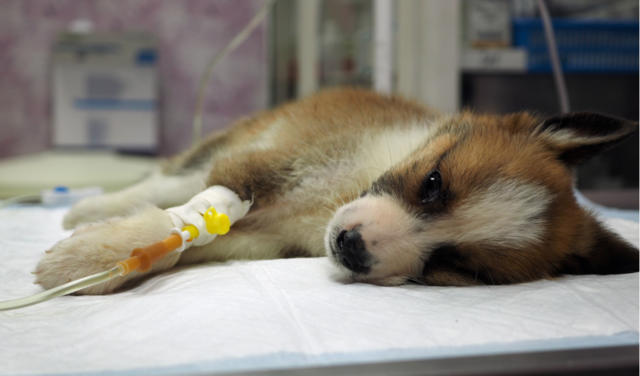 Learn How to Prevent From Canine Parvovirus – Symptoms